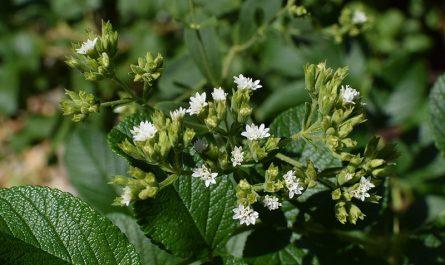 Stevia: propiedades, beneficios y contraindicaciones