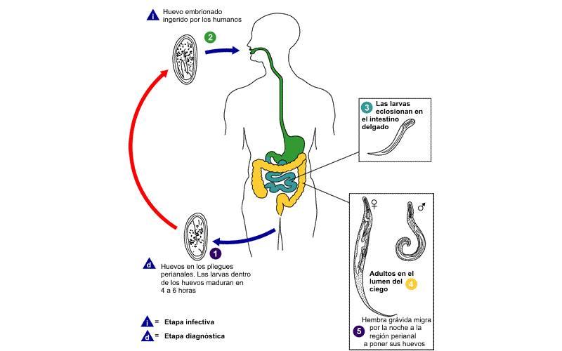 Oxiuros: infección intestinal por parásitos